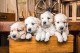 Boxed Pups