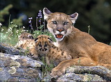 Cougar mom and her cubs