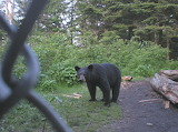 Mt Collins Bear - Population 1 Bear per 2 sq miles