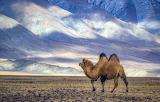 Camel @doll28