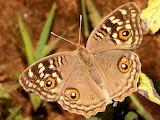 Lemon Pansy,beautiful butterfly