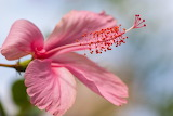 Depositphotos 102977454-stock-photo-pink-hibiscus-up-close