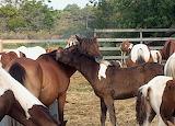 Mutual grooming at Pony Penning