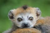 Crowned Lemur Baby