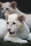 White lion's kittens