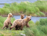 Bears - Brown Bears - Katmai