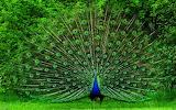 Beautiful-Proud-Peacock-HD