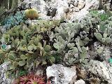Orange Bunny Ears Cactus Opuntia microdasys var rufidia