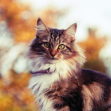 *Siberian Cat in Autumn...