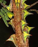 "Science tumblr amnhnyc ""Thorn bug"" ""Umbonia crassicornis"""