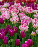 Flowers - Frilly Tulips