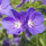 Geranium 'Kashmir Purple'