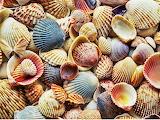 Puz Seashell variety