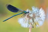 Banded Demoiselle DamselFly by Sven Damerow WikimediaFoundat