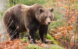 Grizzly mâle