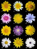Flower of December birth month (Asteraceae) Aster Daisy CC0