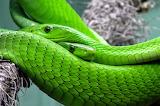 Snake- green mamba