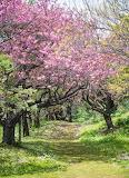 Cherry Blossom pathway in Matsumae Castle public park