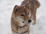 Shiba_inu_dog