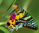 "Science tumblr silverhawk ""madagascan sunset moth"" 2"