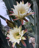 Lovely Cactus flowers