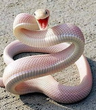 White Texas Rat Snake