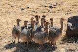 ostrich chickens