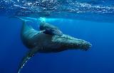 Whale - Balena