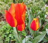 #Fiery Tulips Monet's Garden Giverny France- My Photo