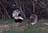 Racoon and Skunk