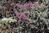 Heather and other plantlife