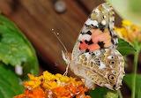 vanessa cardui, butterfly