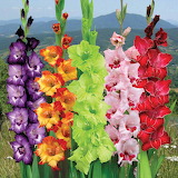 ^ Gladiolus 'Carnival Collection'