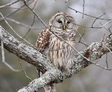 Birds - Barred owl - Missouri