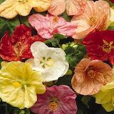 ^ Flowering Maple