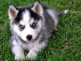 Siberian Husky cub