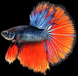 #Betta Fish