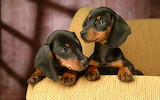Dachshund brothers
