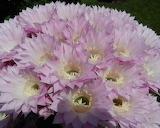 Flowers - Cactus Flowers