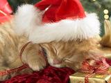 Sleeping Ginger Kitten