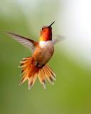 Red headed Humming Bird