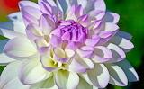 Biało-liliowa dalia