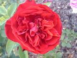 redneck rosarian,rose