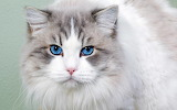 Blue-eyes-cat