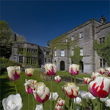 Tulips at the English mansion