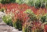 Japanese-Blood-Grass-Imperata-Cylindrica-Rubra-desert-horizon-nu