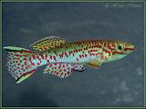 Freshwater aquarium fish
