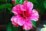 ~Hibiscus!
