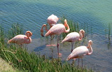 Galapagos+flamingos
