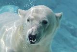 Белый медведь по водой